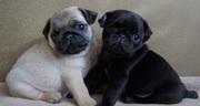 три великолепные щенки мопс доступные